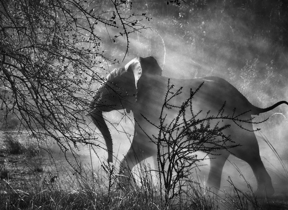Elephants are hunted by poachers in Zambia, so they are scared of humans and vehicles. When they see an approaching car, they usually run quickly into the bush. 
